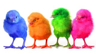 Lean Color Chiken Baby Colorful Surprise Eggs Finger Family Song Nusery Rhyme For Kids