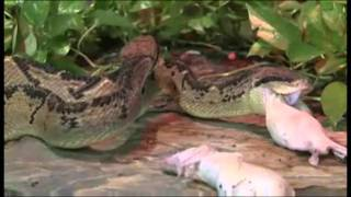 Cape Fear Serpentarium-Bushmaster-Snake-Dean