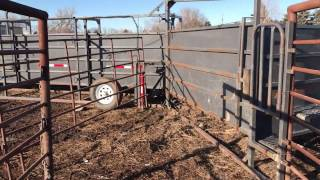 Getting Ready to Load calves to sell