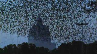 ULTIMATE MURMURATION - PEREGRINE HUNTS STARLINGS IN ROME - EARTHFLIGHT