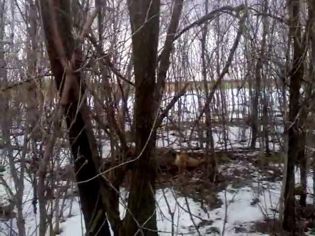 ловля лисиц на петли