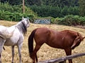Horses trying to mate in our pasture