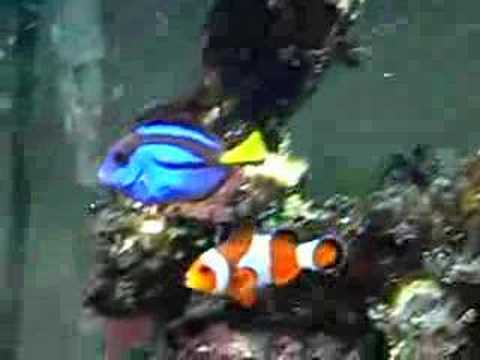 Clownfish regal tang youtube for Blue clown fish