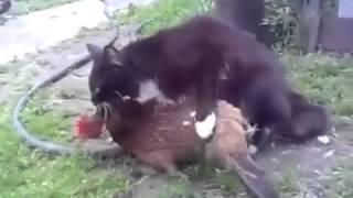 Download Cat mating hen 3Gp Mp4