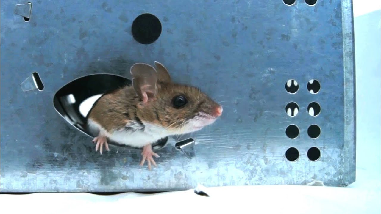 New jt eaton wind up mouse trap test review youtube