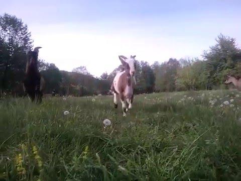 Alpine Goats - Race in the field