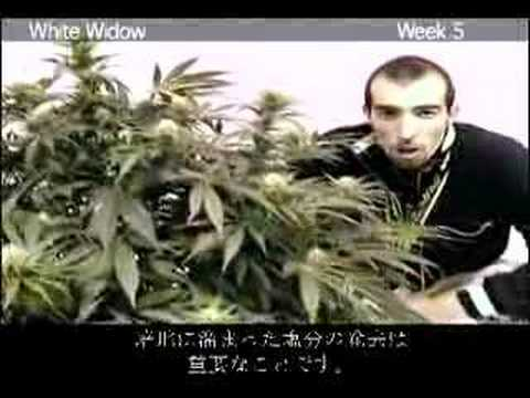 Green House Seed Co White Widow Grow with Japanese Subtitles
