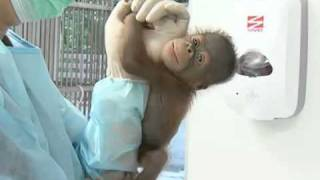 港成功繁殖婆羅洲猩猩龍鳳胎 (12.7.2011)