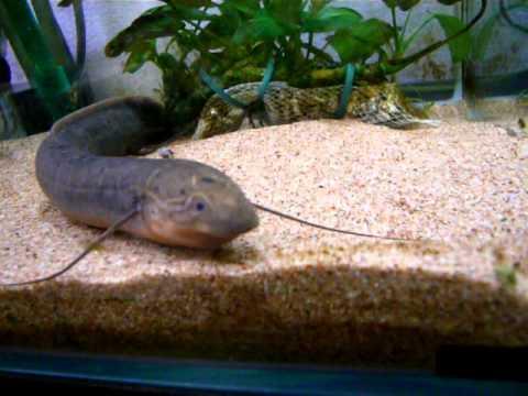 肺魚の食事風景 (投稿者 : ikaton さん)