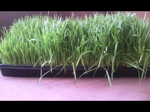 Выращивание зеленого корма. 8-10 дни. Зеленый Гидропонный Корм.