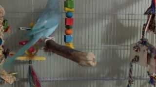 Rio the Indian Ringneck gets a new cage