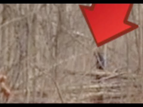 Multiple Bigfoot Sightings in Northern Michigan