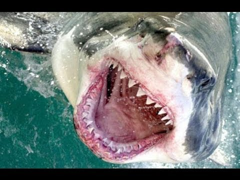 Huge Marlin destroyed by Great White Shark - Dead Meat!