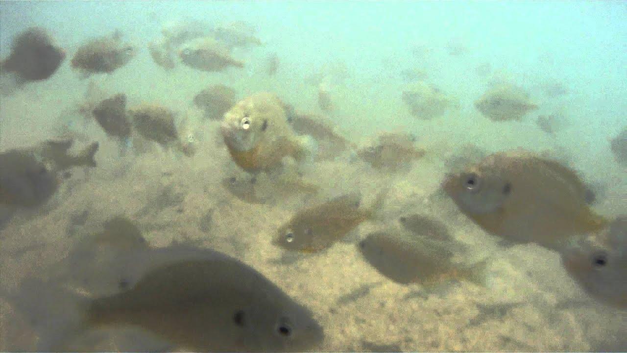 Lake Lanier Underwater Fish YouTube