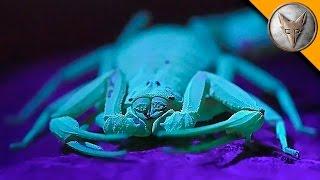 The Deadliest Scorpion in America! (Part 1)