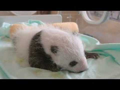 Newborn Panda Slideshow