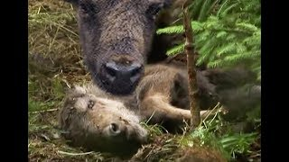 Зубр плачет. Crying Bison