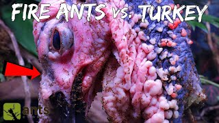 Fire Ants Devouring a Raw Turkey Head - Thanksgiving Day Special