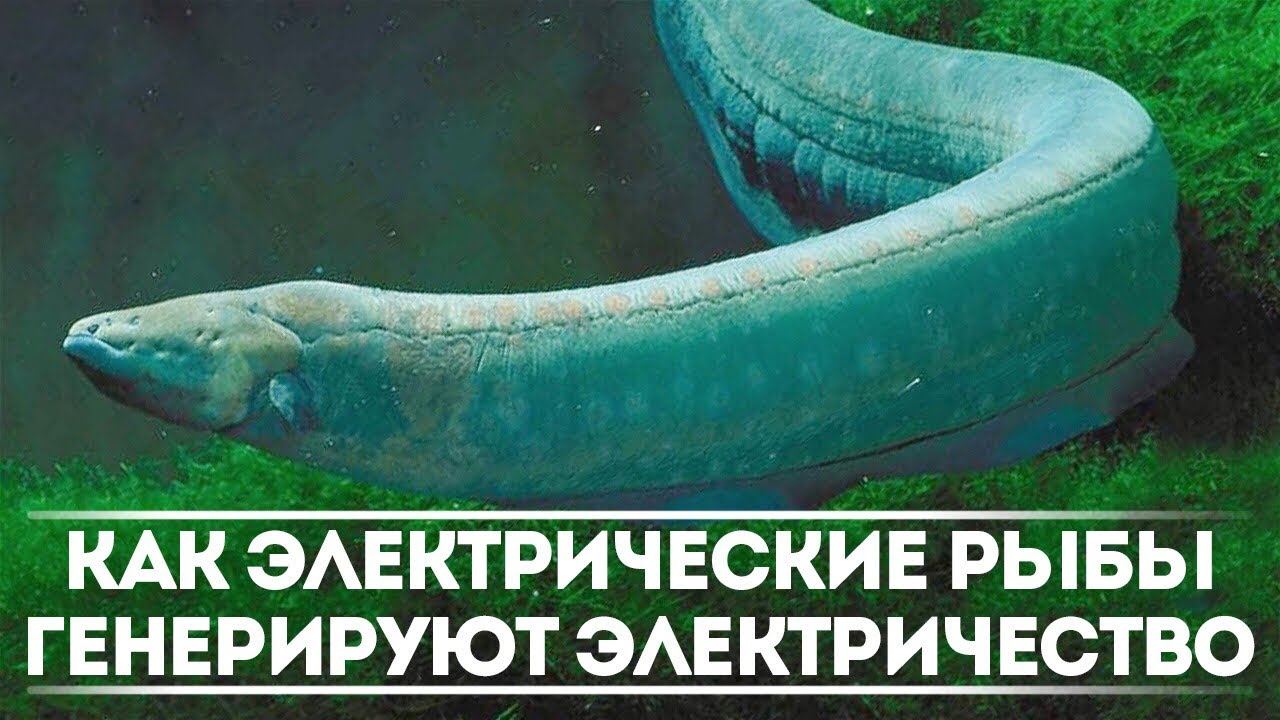Как рыбы генерируют электричество?   DeeaFilm