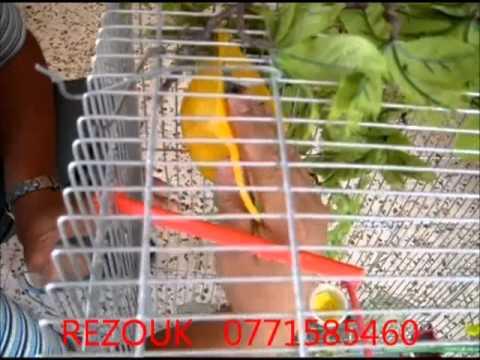 rezouk chardo - chardonneret rezouk ain el kebira 2012