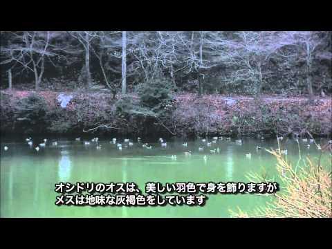 岐阜県の野鳥 01「オシドリ」