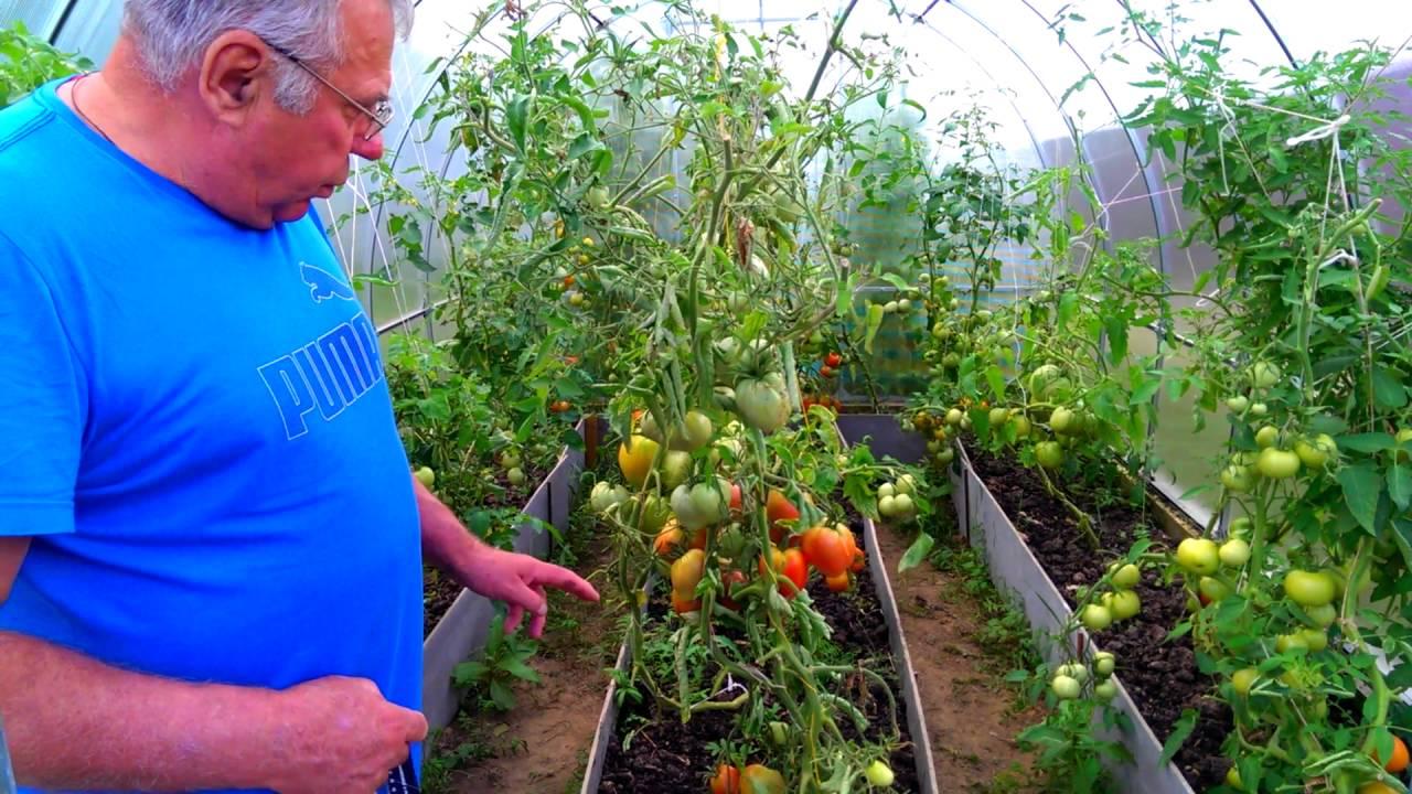 Условия для выращивания помидор в теплице 205