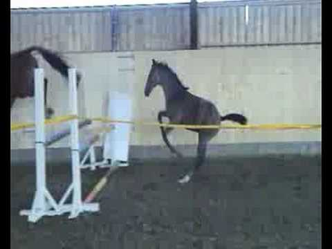 Foal Jumping With Mother Mare Foal Loose Jumping