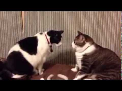 Walter vs Glinda (cat staring contest)