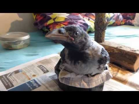 Raising a crow baby - feeding