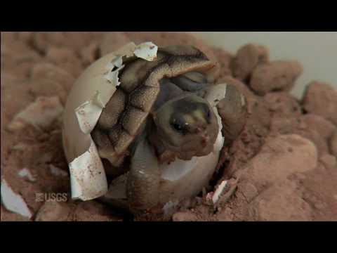 Hatching of a Mojave Desert Tortoise