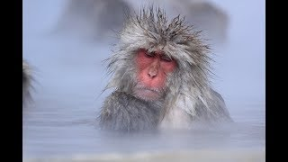 Japanese snow monkeys ニホンザル relaxing and meditating in hot spring