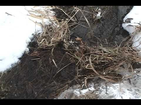 Winter Muskrat Trapping