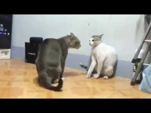 Gatos Peleando Fight!!