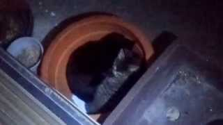 植木鉢で寝ている野良のクロネコとトラネコ - The stray tiger and black cats which are sleeping in a flower pot.