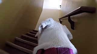GoPro on a Labrador Retriever Left Home Alone!