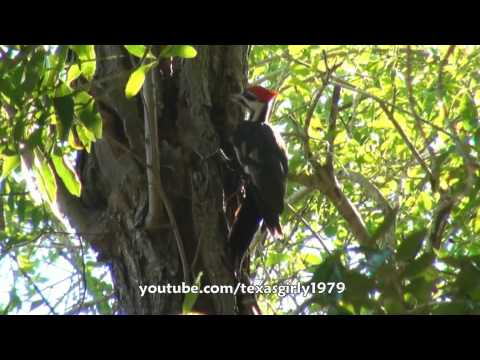 Pit Bull Sharky VS Pilated Woodpecker (not Ivory-Billed Woodpecker)