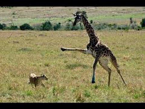 Lion vs Giraffe Real Fight - Lion Hunting Giraffe