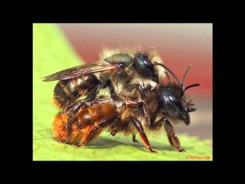 Red Mason bee life cycle updated 2016  Nurturing Nature site