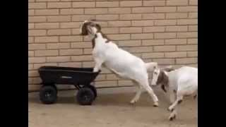 Goats in a wheelbarrow