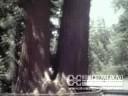 Vacation, c. 1980: Sequoias
