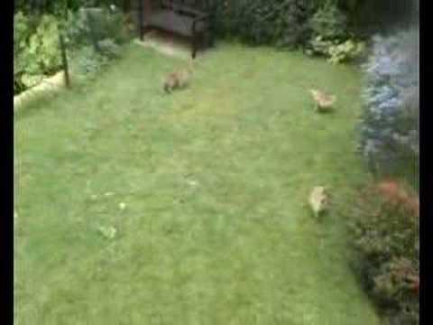 four urban fox cubs in my garden 14may07