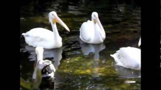 American White and Brown Pelican.wmv