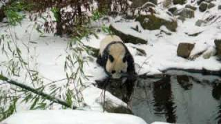 Cute Fu Long getting Chased in the Snow