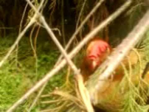 MOV01830. I pulcini entrano da soli nella loro cuccia rosa. Laura prende le coccole come un micio!