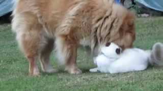 "cat+ dog friends:amitié ""dévorante""(chat sacré de birmanie+ chien Eurasier)"