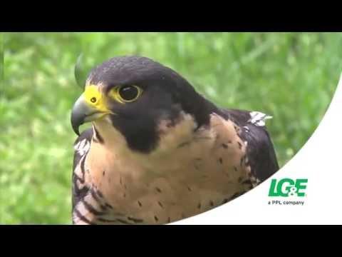LG&E and KU protect peregrine falcon populations...