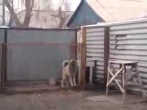 Танцующая Собака  Видео приколы смешное видео,  русские приколы