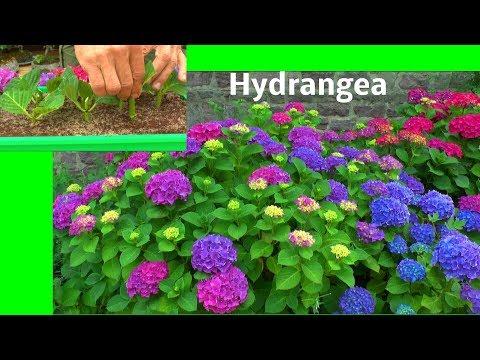 Hortensie Hydrangea Stecklinge die Vermehrung der Bauernhortensie zeigt der Gärtner