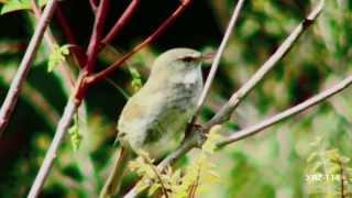 野鳥 さえずる鳥達 2 Wild Birds Warbling Birds 2