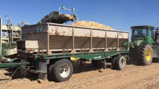 Imperial  Valley CA Onion Harvest. May 2016